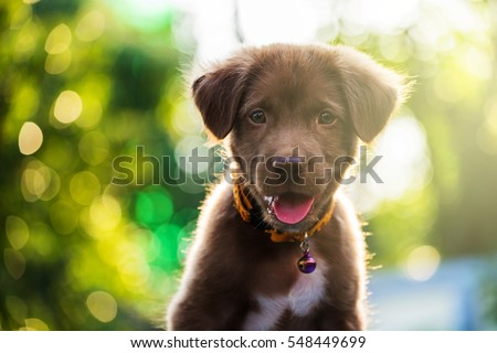 Brown adorable labrador retriever puppy dog portrait, looking at the camera, against sunset light and bokeh yard background