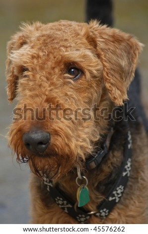 Brown airedale terrier dog close up in front of a neutral background - stock photo