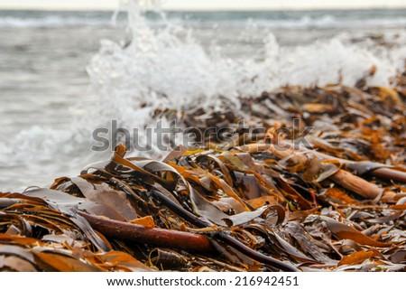 Brown algae at the seashore in Iceland - stock photo