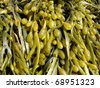 Brown algae, fucus - stock photo