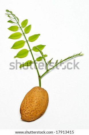 brown almond seed with green acacia branch - stock photo