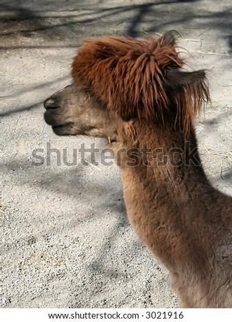 Brown Alpaca - stock photo