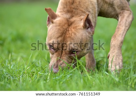 Brown American Pit Bull Terrier on the grass