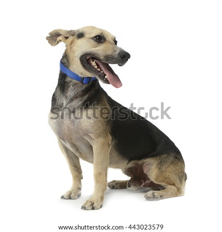 brown and black mixed breed dog in a white studio - stock photo