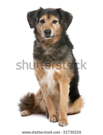 brown and black Mixed-Breed Dog sitting and facing at the camera (11 years old) in front of a white background - stock photo