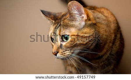 Brown and orange tabby cat against plain background. Feline on the prowl or hunting behavior. - stock photo