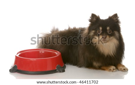 brown and tan pomeranian laying beside food dish waiting patiently on white background - stock photo