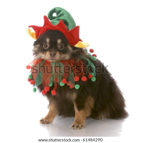 brown and tan pomeranian puppy dressed up as santa elf with reflection on white background - stock photo