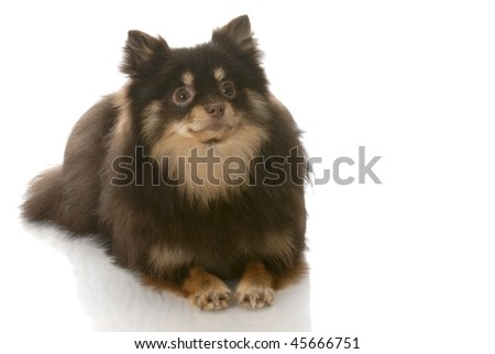 brown and tan pomeranian puppy laying down looking up