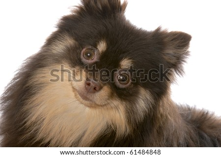 brown and tan pomeranian puppy on white background