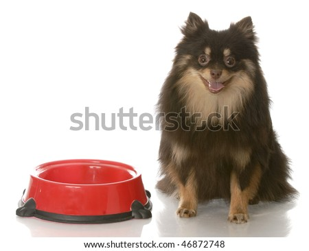 brown and tan pomeranian sitting beside food dish waiting to be fed - stock photo