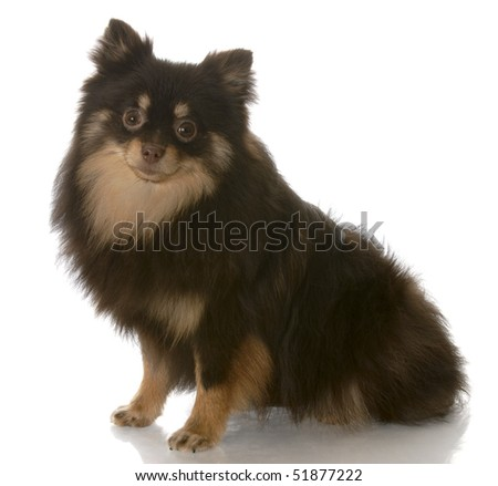 brown and tan pomeranian sitting down looking at view on white background