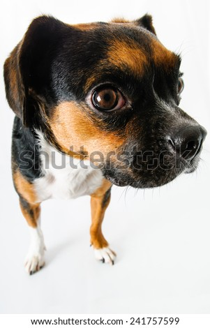 Brown and white beagle and boston terrier mixed breed dog on white background - stock photo