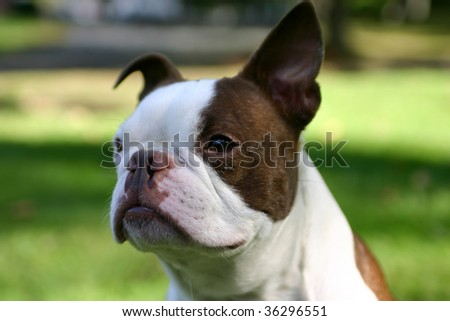Brown and White Boston Terrier Dog Outside - stock photo