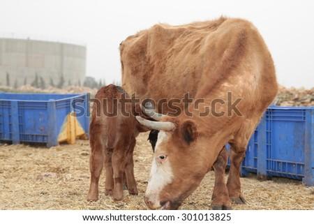 Brown and white bullock grazing in lush grassland - stock photo