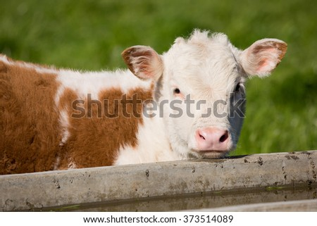 Brown and White Calf - stock photo