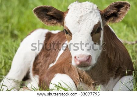 Brown and white calf portrait. Shallow DOF. Farm scenic. - stock photo