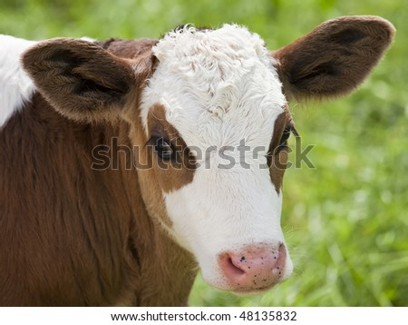 Brown and white calf portrait. Shallow DOF. Farm scenic.