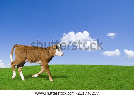 Brown and white calf running in a green meadow against a blue sky.