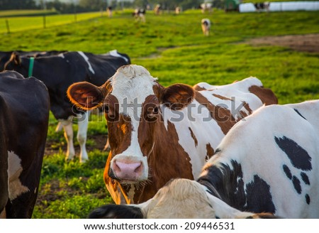 Brown and White cow among black and white herd looking back at camera in farm pasture in rural Pennsylvania. - stock photo