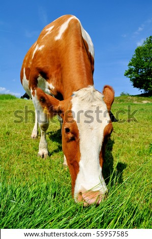 Brown and white cow eating grass in the Swiss alps - stock photo