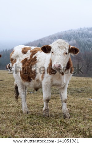 Brown and white cow grazing on a field in winter; frosty landscape in the background. - stock photo