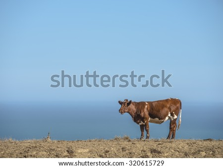 Brown and White cow on a dry dirt piece of farmland overlooking the ocean - stock photo