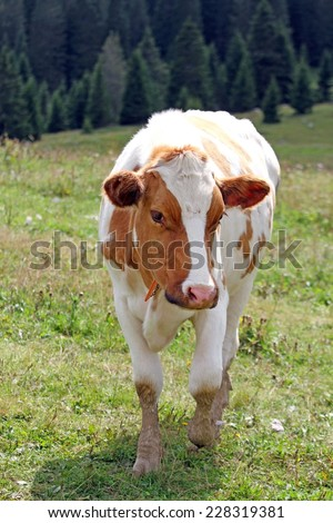 Brown and white cow to pasture grazing alpine meadow grass - stock photo