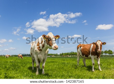 Brown and white cows in a green grass meadow - stock photo