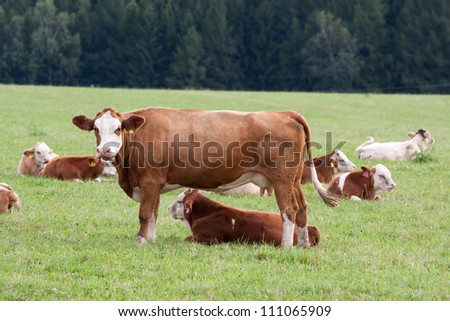 Brown and white dairy cows in pasture - stock photo
