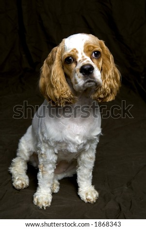 Brown and white dog looking away - stock photo