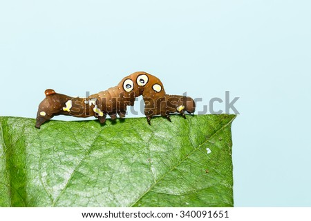 Brown and white dot caterpillar of  othreis ( Eudocima falonia ) moth on leaf - stock photo