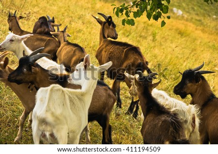 Brown and white goats on a meadow at summer sunny day, Pester plateau, southwest Serbia - stock photo