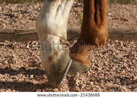 brown and white horse hooves - stock photo