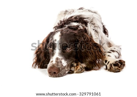 brown and white hunting dog/ brown-white German Spaniel hunting dog on white background with wooden signs