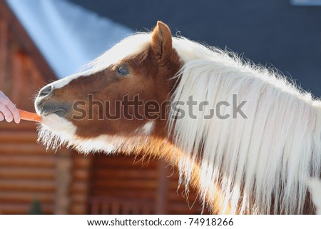 brown and white miniature horse eating a carrot