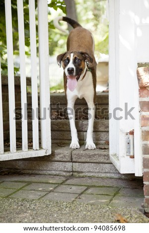 Brown and White Mix breed Dog looking at the camera while standing
