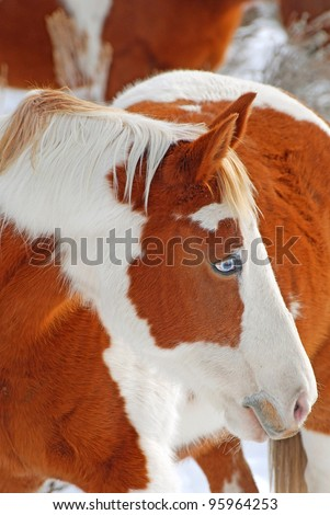 Brown and white paint horse with blue eye. - stock photo