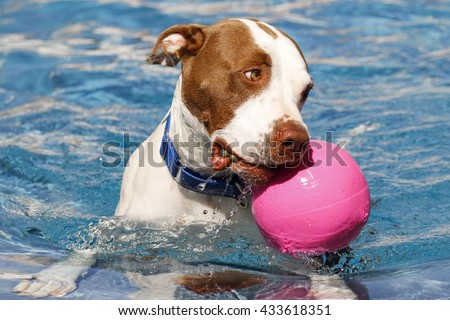 Brown and white pitbull with a pink ball swimming - stock photo