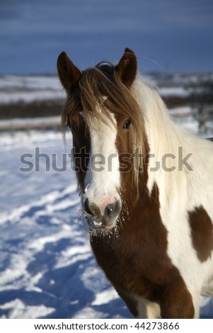 Brown and white pony with thick coat is lovely and warm in the Northumberland winter - stock photo