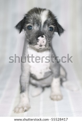 Brown and white puppy of breed the Chinese crested dog on striped background. Shallow DOF - stock photo