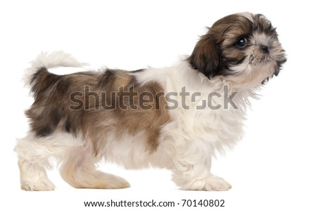 Brown and white Shih-tzu standing in front of white background