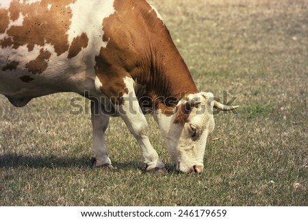 Brown and white spotted cow grazing in the grass - stock photo
