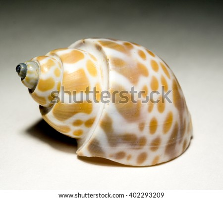 Brown and white spotted seashell, close up background. - stock photo