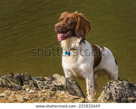 Brown and White Springer Spaniel Dog on Rocky Beach - stock photo