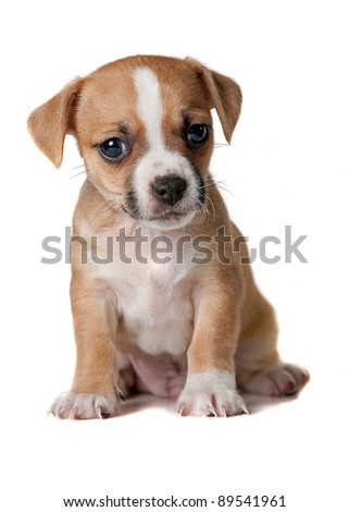 Brown and white terrier puppy - white background