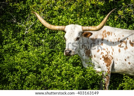Brown and White Texas Longhorn Close Up - stock photo