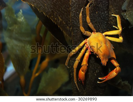 Brown and yellow crab on kelp under water. - stock photo