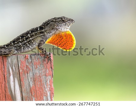 Brown Anole Lizard - stock photo