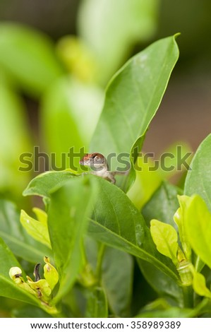 Brown Anole  lizard hides behind green leaves on a plant - stock photo